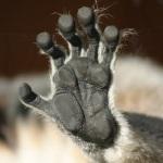 lemur-mano
